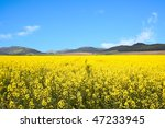 yellow rapeseed field | Shutterstock . vector #47233945