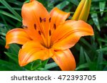Bright Orange Lily Flowers In...