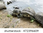 Freshwater Turtles Get In The...
