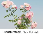 Stock photo pink rose flowers on the rose bush in flower garden at the morning with other flowers mountain and 472411261