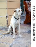 the big stray dog in athenes ... | Shutterstock . vector #47244688