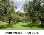 Rows Of Olive Trees In The...