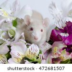 young decorative rat in a... | Shutterstock . vector #472681507