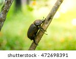 large beetle on branch   Shutterstock . vector #472698391