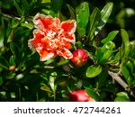 Flowering Pomegranate Tree In...