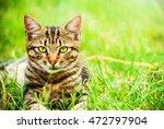 homeless cat with leopard...   Shutterstock . vector #472797904