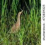 Small photo of American Bittern Hiding in the Reeds