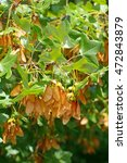 Small photo of This medium-sized tree, native to the Mediterranean region is Acer monspessulanum, the Montpellier maple; you see the leaves and the fruits, which are paired samaras