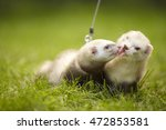 Couple Of Champagne Ferrets On...