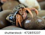 Caribbean Hermit Crab on wet stones/Hermit Crab/Caribbean Hermit Crab (Coenobita Clypeatus)