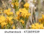 Sierra Butterweed  Senecio...