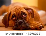 German Boxer   Sad Dog