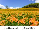 Blossom Season Of Daylily At...
