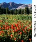 Small photo of Indian Paintbrush (Castilleja rhexifolia) wildflowers - Albion Basin (near Alta and Snowbird ski resorts), Wasatch Mountains, Utah