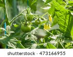 Small Unripe Green Tomatoes On...