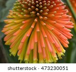 Red Hot Poker Flower