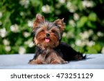 Cute Little Yorkshire Terrier...