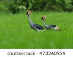 Grey Crowned Crane In A Field