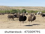 An Ostrich Farm In Southern...