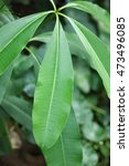 Small photo of Leaf of Blackboard Tree, Devil Tree, Alstonia scholaris (Linn.) R. Br., Flowers, herbs, Thailand has medicinal properties.