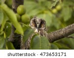 owl hidden in  walnut tree | Shutterstock . vector #473653171