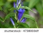 flowers of a willow gentian ... | Shutterstock . vector #473800369
