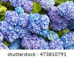 Closeup Of Blue Hydrangea ...