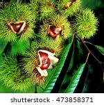 Chestnuts In Chestnut Bur