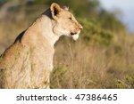 lion cub stares | Shutterstock . vector #47386465