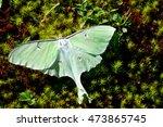 Luna Moth Sitting On Green Moss.
