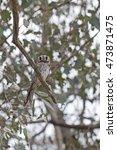 Small photo of Australian Owlet-nightjar (Aegotheles cristatus) Maldon, Victoria, Australia