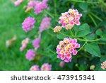 Pink Lantana Camara Flower...