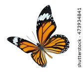 Common Tiger Danaus Genutia Beautiful - Fine Art prints