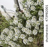 Small photo of Petite snow white flowers of Lobularia maritima Alyssum maritimum, sweet alyssum or sweet alison, also alyssum genus Alyssum is a species of low-growing flowering plant in family Brassicaceae.