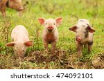 Three little piglets in nature