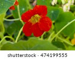 Red Bloomed Nasturtium In The...