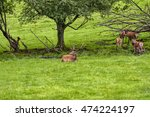 herd of mother elk with... | Shutterstock . vector #474224197