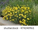 golden yarrow or achillea ... | Shutterstock . vector #474240961