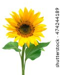 flower of sunflower isolated on ... | Shutterstock . vector #474244189