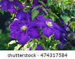 Blooms Clematis Blue Purple...