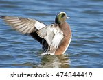 Small photo of Male American Wigeon Flapping Wings