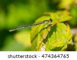 female boreal bluet damselfly...   Shutterstock . vector #474364765