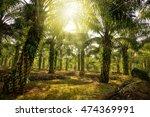 oil palm plantation  | Shutterstock . vector #474369991