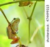 Australian Green Tree Frog...