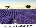 lavender field summer sunset... | Shutterstock . vector #474499375