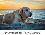 Old Yellow Dog Labrador...