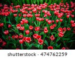 tulip flowers in garden  on... | Shutterstock . vector #474762259