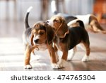 Stock photo beagle puppy playing at home on a hardwood floor place for text 474765304