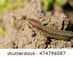 macro shot of a tiny lizard in... | Shutterstock . vector #474796087
