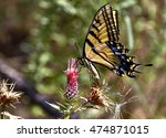 Two Tailed Swallowtail...